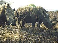 southafrica rhinos in hluhluwe